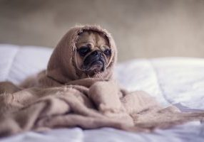 Pug with blanket around it